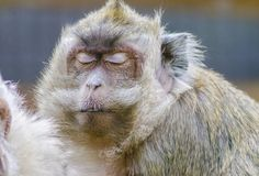 Crab eating macaque Royalty Free Stock Photography