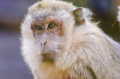 Crab eating macaque Royalty Free Stock Image