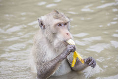 Crab-eating macaque, closeup Royalty Free Stock Photography