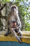 Crab-eating macaque. On the stairs of the Batu Caves, Gombak, Selangor, Malaysia stock photo