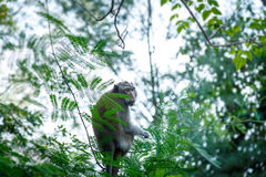 Crab-eating macaque. On the tree royalty free stock photo
