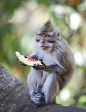 Crab-eating macaque eat juicy fruit Royalty Free Stock Photography