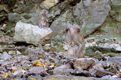 Crab-Eating Macaque eating some food in Batu Caves, Malaysia. Stock Photos