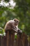 Crab-eating macaque. Or the long-tailed macaque (Railay,Thailand Stock Image
