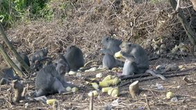 The crab-eating macaque ,Macaca fascicularis, also known as the long-tailed macaque.  stock video