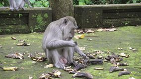 The crab-eating macaque ,Macaca fascicularis, also known as the long-tailed macaque,Sangeh Monkey Forest Bali.  stock footage