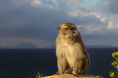 Crab-eating Macaque Macaca fascicularis. In the Black River Gorges National Park in Mauritius, Africa Stock Photography