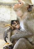 Crab- eating macaque (Macaca irus) family Royalty Free Stock Photo