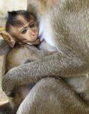 Crab- eating macaque (Macaca irus) family Stock Image
