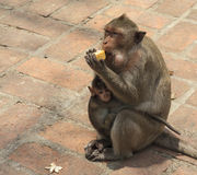 Crab- eating macaque (Macaca irus) family Stock Images