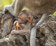 Crab - eating macaque (Macaca irus) family Stock Images