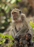 Crab - eating macaque (Macaca irus) family Royalty Free Stock Images