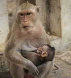 Crab - eating macaque (Macaca irus) family Royalty Free Stock Photo