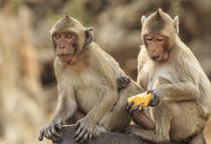 Crab- eating macaque (Macaca irus) monkey Royalty Free Stock Image