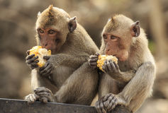 Crab- eating macaque (Macaca irus) monkey Royalty Free Stock Photo