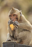 Crab- eating macaque (Macaca irus) monkey Stock Images