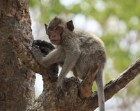 Crab- eating macaque (Macaca irus) monkey Royalty Free Stock Images