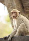 Crab- eating macaque (Macaca irus) monkey Stock Photos