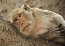 Crab- eating macaque (Macaca irus) monkey Stock Photography