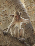 Crab- eating macaque (Macaca irus) monkey Royalty Free Stock Photography