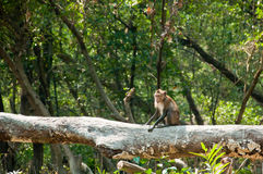 Crab-eating Macaque in mangrove forest Stock Images