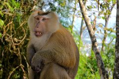 Crab-eating macaque monkey Asia Thailand Stock Photo