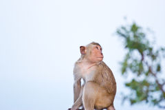 Crab-eating macaque Monkey Stock Images