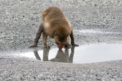 Crab-eating Macaque monkey drinking water on ground at mangrove Royalty Free Stock Photo