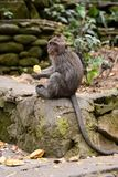A crab-eating macaque. Monkey forest. Padangtegal village. Ubud. Bali. Indonesia. Ubud is a town on the Indonesian island of Bali in Ubud District, located stock photo