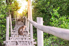 Crab-eating macaque monkey gaping on bamboo bridge in mangrove forest Stock Photography