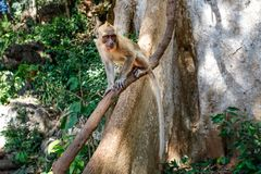 Crab-eating macaque monkey Macaca fascicularis. On a tree branch. Khao Sok, Thailand Royalty Free Stock Photos