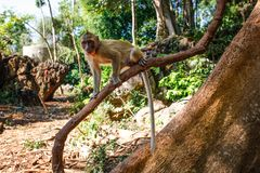 Crab-eating macaque monkey Macaca fascicularis on tree branch. Crab-eating macaque monkey Macaca fascicularis on a tree branch. Khao Sok, Thailand Royalty Free Stock Photo