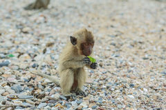 Crab-eating macaque. Stock Photography