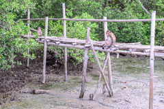 Crab-eating macaque monkey siiting on bamboo bridge in mangrove forest Royalty Free Stock Image
