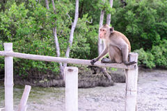 Crab-eating macaque monkey siting on bamboo bridge in mangrove forest Royalty Free Stock Image