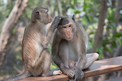 Crab-eating macaque. Monkey (Crab-eating macaque) on tree in Thailand Royalty Free Stock Images