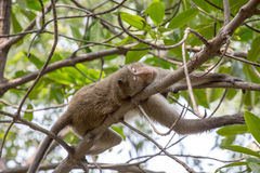 Crab-eating macaque. Monkey (Crab-eating macaque) on tree in Thailand Stock Photography