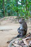 Crab-eating macaque on Palawan Royalty Free Stock Image