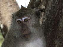 Crab eating macaque, portrait, Haad Yao, Thailand Stock Photography