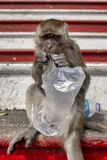 Crab-eating macaque. On the stairs of the Batu Caves, Gombak, Selangor, Malaysia royalty free stock photo