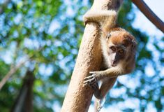 Crab-eating macaque Royalty Free Stock Photos