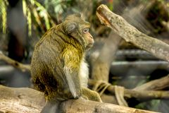Crab-eating Macaque in the Zoo royalty free stock images