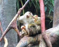 The crab-eating macaques (Macaca fascicularis) Stock Photos