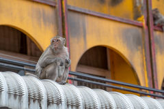 Crab-eating macaques  on a roof. Royalty Free Stock Photo