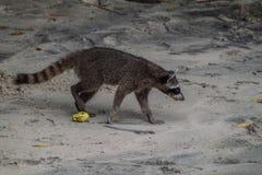 Crab-eating raccoon Procyon cancrivorus in National Park Manuel Antonio, Costa Ri stock image