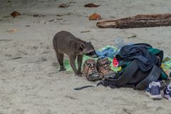 Crab-eating raccoon Procyon cancrivorus steals a food from tourists in National Park Manuel Antonio, Costa Ri. Ca stock photo
