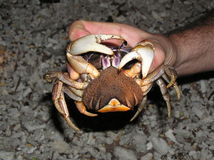 Crab with eggs Royalty Free Stock Images