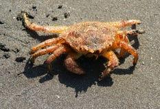 Crab (Erimacrus isenbeckii ). Close-up of the crab ashore ocean Stock Images