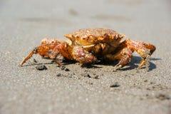 Crab (Erimacrus isenbeckii). Close-up of the crab (Erimacrus Isenbeckii ) ashore Pacific ocean Royalty Free Stock Photo