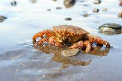 Crab (Erimacrus isenbeckii). Close-up of the crab (Erimacrus Isenbeckii ) ashore Pacific ocean Royalty Free Stock Images